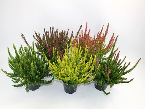 Calluna vulgaris T 12 SkyLine® MIX-Lage • VE 40