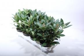 Skimmia japonica 'Rubella' T 12 (3 - 5 Dolden) • VE 8