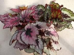 Begonia-Rex-Hybriden T 12 MIX • VE 6