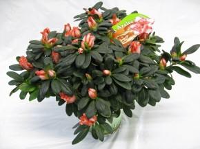 Rhododendron simsii 'Pink Aurelique' T 14 (25-27,5) • VE 6