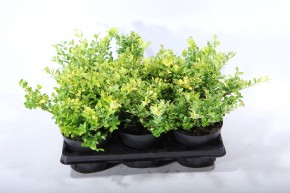 Ilex crenata 'Golden Gem' T 13 • VE 6