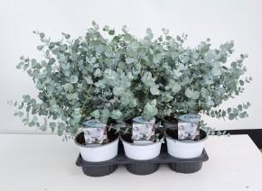Eucalyptus gunnii T 14 • VE 6