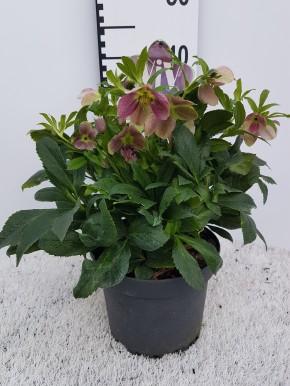 Helleborus orientalis 'Victoria' T 19