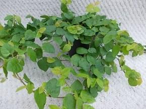 Ficus pumila T 9 • VE 12