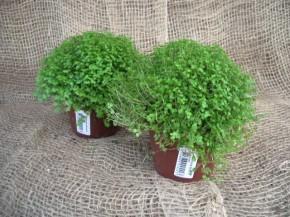 Soleirolia soleirolii (Helexine) T 11 • VE 8