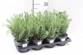 Rosmarinus officinalis T 14 • VE 8