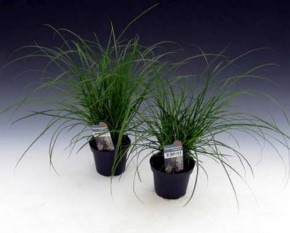 Carex brunnea T 9 • VE 18
