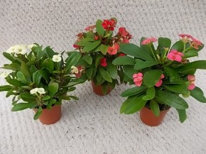 Euphorbia milii T 5,5 MINI MIX • VE 12
