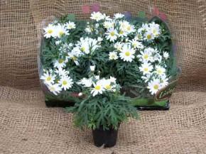 Argyranthemum frutescens 'Dana' T 6 Mini • VE 12
