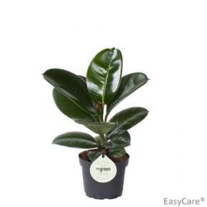 Ficus elastica 'Sofia' T 11 • VE 11