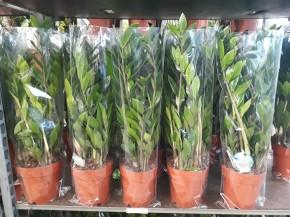 Zamioculcas zamiifolia T 17 • VE 6