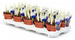 Iris reticulata T 12  (10 ppp) BLAU • VE 10