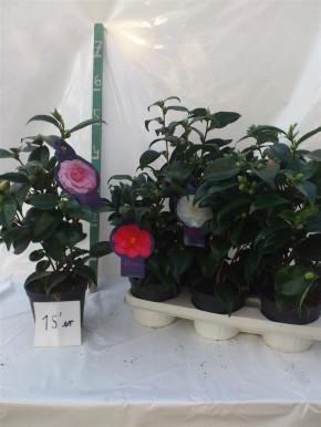 Camellia japonica T 15 MIX • VE 6