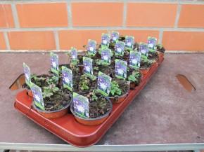 Anemone blanda T 9 BLAU • VE 12