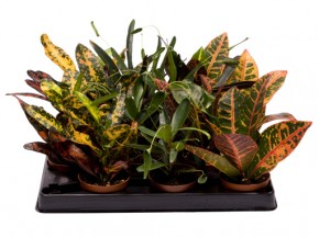 Codiaeum variegatum T 6 MINI Mix • VE 12