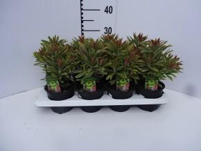 Euphorbia amygdaloides 'Ascott Rainbow' T 13 • VE 8