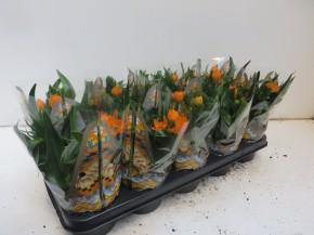 Ornithogalum dubium T 12 (3+ Blüten) • VE 10