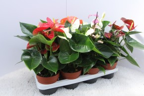 Anthurium-Andreanum-Hybr.T 14 'Sweet Hearts' MIX  • VE 8