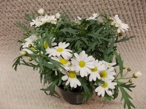 Argyranthemum frutescens 'Dana' T 11 • VE 12