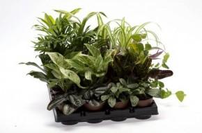 Grünpflanzen-Sortiment T 6 Mini Mix  • VE 20