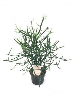 Euphorbia tirucalli T 12 • VE 8