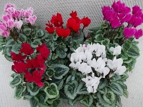 Cyclamen persicum T 10,5 Midi MIX • VE 8