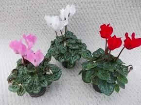 Cyclamen persicum T 6 Micro MIX • VE 14