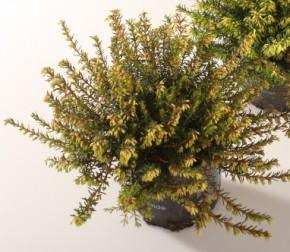 Erica carnea T 10,5 ROSA • VE 10
