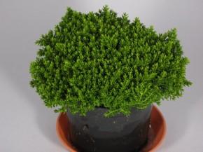 Hebe-Hybriden 'Green Globe' T 9 • VE 12