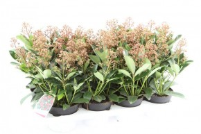 Skimmia japonica 'Rubella' T 13 (6+ Dolden) • VE 8