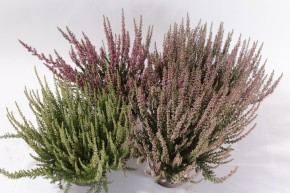 Calluna vulgaris T 11 GardenGirls® Mix-CC • VE 350