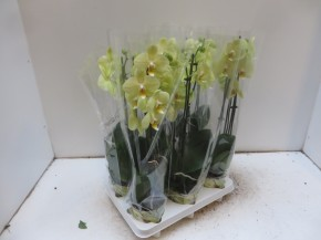 Phalaenopsis-Hybriden T 12 (2 Triebe) GELB • VE 6
