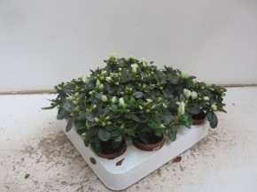 Rhododendron simsii T 6 Mini WEISS • VE 12