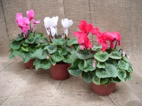 Cyclamen persicum T 13 gefranst MIX  • VE 6