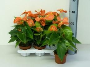 Anthurium-Andreanum-Hybr.T 12 'Orange Champion' • VE 8