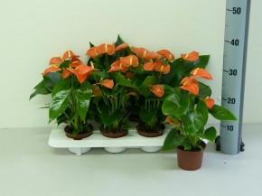 Anthurium-Andreanum-Hybr. T 10,5 'Orange Champion' • VE 10