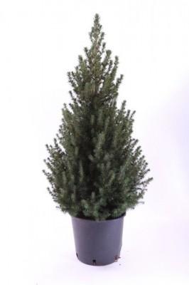 Picea glauca 'Conica' T 24   65 cm • VE 5