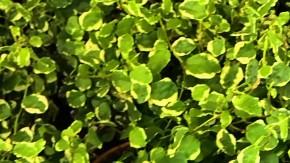 Ficus pumila 'Sunny' T 9 • VE 12