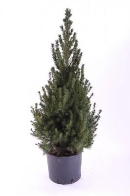 Picea glauca 'Conica' T 21   55cm • VE 6