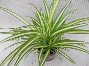 Chlorophytum comosum 'Variegata' T 12 • VE 12