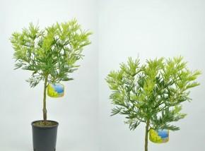 Acacia dealbata T 18 Stamm • VE 3