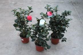 Camellia japonica T 19 • VE 3