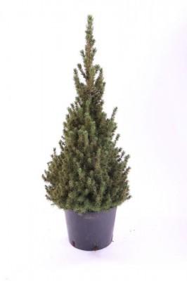 Picea glauca 'Conica' T 19   45-50cm • VE 7