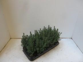 Picea glauca 'Conica' T 9 • VE 18