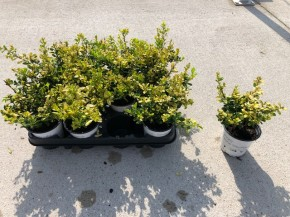 Ilex crenata 'Golden Gem' T 10 • VE 12