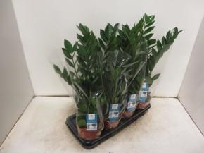 Zamioculcas zamiifolia T 14 • VE 7