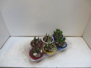 Zwiebelpflanzen-Schale T 16 MIX • VE 6