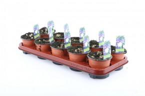 Anemone blanda T 11 BLAU • VE 10