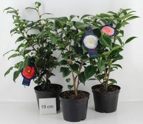 Camellia japonica T 19 MIX • VE 7