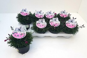 Dianthus caryophyllus T 13 PINK RockCollection® • VE 8